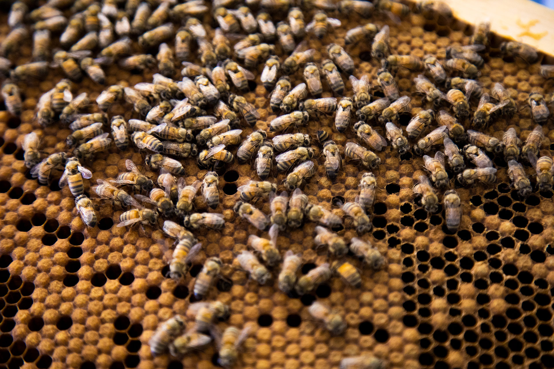 Bees on their honeycomb
